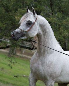On our farm in Waco, Texas is the beautiful Shah Mishaal RCA (Mishaal HP x Bint Asila RCA), 2012 Grey Egyptian Arabian Stallion. #mishaalhp