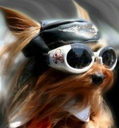 Biker dog! #HDNaughtyList