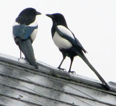Good morning Mr Magpie and how's your wife today? Pie Bavarde, Dickie Bird, Magpie Tattoo, Birds In The Sky, Jackdaw, Crows Ravens, Draw On Photos, Cute Birds, Bird Feathers