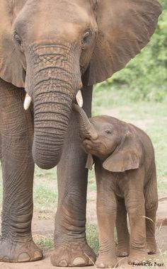 Wild Animals Pictures, Animal Pictures, Elephant, Beautiful, World, Lion Love, Wild Animals, Peace, Pictures Of Wild Animals