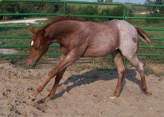 2006 Red Roan Colt