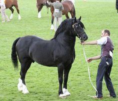 Profile - Trefaes Black Flyer : Rainhill Welsh Cobs