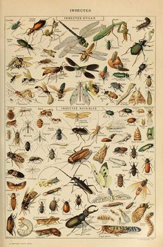 Free Printable Natural History Posters Of Adolphe Millot - Picture Box Blue Free Printable Natural History Posters Of Adolphe Millot - Picture Box Blue History Posters, Nature Posters, Éphémères Vintage, Vintage Botanical Prints, Botanical Drawings, Vintage Art Prints, Vintage Artwork, Picture Boxes, Insect Art