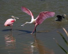 Random Acts of Photography, Spoonbills with attitude and a glossy in the bath Viera Click Ponds Melbourne Florida May 17, 2014 Nikon D5100 ISO 800 1/640 sec f11 with polarizing filter and ev -0.7