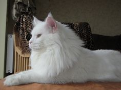 White Maine Coon ❤