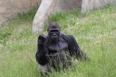 My brother took this photo at the zoo I present Success Gorilla