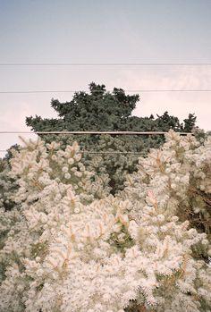 daniel shea . egle is a tree . fir-tree .