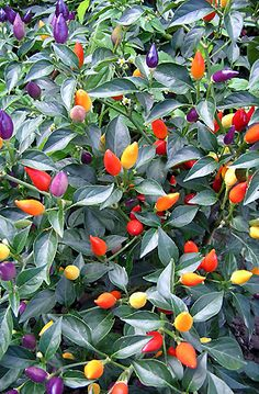 Bolivian Rainbow Hot Chili Peppers - The chilies are very hot, so use them cautiously, but they are delicious in salads or salsas, and can be dried or pickled. I really just wanna have them cause the fruits look like Christmas lights....