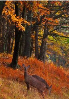 Deer in Autumn woods