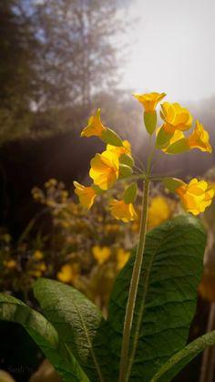 Blender Tutorial - Nature Close-up - Cowslips---¿Es una foto?¿Es un render?Es Sardi Pax.