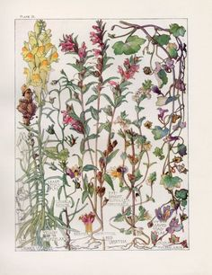 Toadflax, Eye-Bright Wild Flower Botanical Print by Isabel Adams - Antique Print