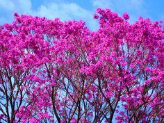 Um ipê violeta, rosáceo, roxo, com suas flores maravilhosas em Extrema-MG