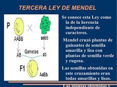 Resultado de imagen para gen dominante ejemplos plantas