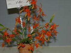 ほっかいどう 世界の蘭展2004 デンドロビューム Hokkaido World Orchid Show 2004 Dendrobium