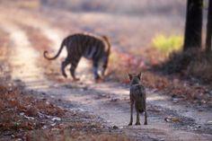 Eventyret om den indiske ulv som menneskets beskytter har meget lidt på sig. Ulven foretrækker at æde husdyr og er tæt på udryddet på det indiske subkontinent. Forskerne ved nu, at indiens ulve er en særlig race, meget ældre end den grå ulv, racen som man tidligere antog at det store landområdes ulve tilhørte.