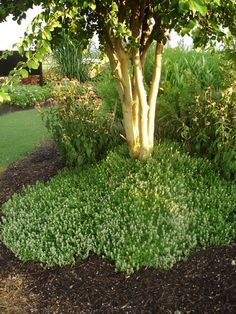Thyme Used as Groundcover in Landscape