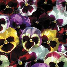 Majestic Giants 11 Hybrid Mix Pansies- The aristocrats of all pansies with huge blooms over 4 inches across in just about every imaginable color, all with traditional dark pansy faces.