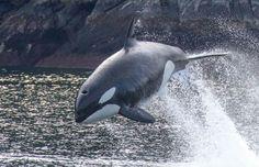 #orca, killer whale