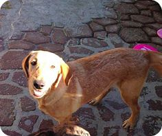 2/21/17 New York, NY - Labrador Retriever Mix. Meet Khaleesi, a dog for adoption. http://www.adoptapet.com/pet/17628046-new-york-new-york-labrador-retriever-mix