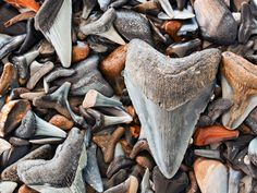 Picture of megalodon shark teeth fossil with other shark teeth fossils found in the Gulf of Mexico