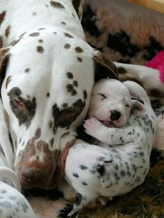Thinking about getting a Dalmatian puppy? Here are some things you should know about Dalmatian puppies before you run out to your local shelter or rescue to adopt your own, from their energy levels to their unique spotted coats. Cute Baby Animals, Animals And Pets, Funny Animals, Cute Puppies, Cute Dogs, Dogs And Puppies, Doggies, Beautiful Dogs, Animals Beautiful
