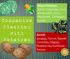 Gardening with Red Hill: Companion Planting with Potatoes