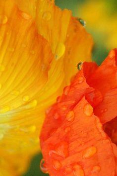 ~✿ڿڰۣ Orange and Yellow Petals