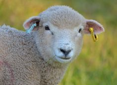 Romney Sheep, Sheep And Lamb, Getter, Goats, Lambs, Country Living, Cute, Stones, Birds