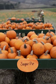 Sugar Pie pumpkins