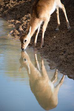 reflection of Marshbuck / Sitatunga