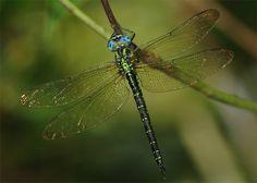 Aeschnophlebia anisoptera - Found southwest of Honshu, Shikoku, Kyushu, Tsushima, Izuoshima and Shimokoshikjima in Japan, south of China, this species of dragonfly is of the family Aeschnidae