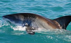 Cheers: Great White Shark Tours