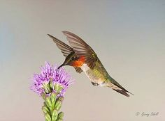 ruby throated hummingbird front photo