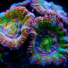 Gorgeous Acanthastrea really demonstrating the multitude of colors available in each individual.
