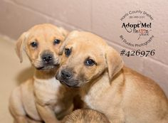03/07/15-HOUSTON- Goodness, so many puppies at Harris County, this week. First, we have a family of 3 siblings. They are 8 week old Lab mixes. They are super cute, playful, and a bit worried about their fates. Please share to help make their future bright. These dogs are at the Harris County Shelter. The shelter phone # is: 281-999-3191.