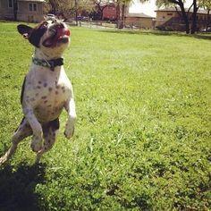 Southie Sam Sparkle Hahn the Boston Terrier on Puppystream.me