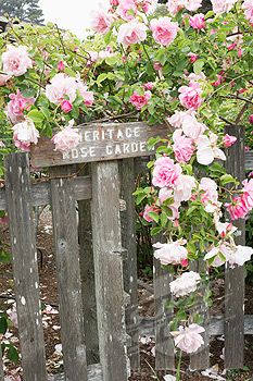 Roses at the Mendo Coast Botanical Gardens Love this place.  This time of year it is a great place to go whale watching.  So beautiful.
