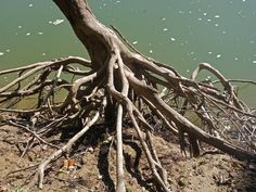I thought the tree roots were very interesting here. Tree Roots by the River Biotope Aquarium, Tree Roots, Reptiles And Amphibians, Landscaping, German, Trees, Deviantart, River, Glass