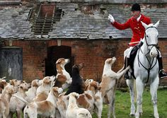 Hunting dogs learning to hear the whistle English Foxhound, Smooth Fox Terriers, Fox Hunting, Horse World, Horse Drawings, The Fox And The Hound, White Horses, Horse Love, Beautiful Horses