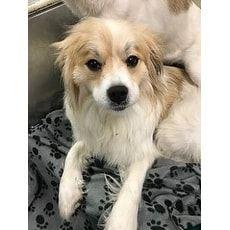 Bailey 114591 Joplin Humane Society Joplin Missouri Pets