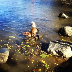 When the water is too cold for lil bit she hops from rock to rock! #playpose #cambridgedogs #dogsplaying #mutt #golden #muttsrule #goldenretriever #dogpond #freshpond #freshpondpups #freshpondreservation #fall #falldogs #autumn #autumndogs #CambMA #cambridgema #cambridge #fallleaves #fallingleaves #dogwalks #dogwalking by freshpondpups October 18 2015 at 06:49AM