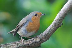 Robin (Erithacus rubecula) by Johan van Beilen, via Flickr