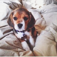 Are you interested in a Beagle? Well, the Beagle is one of the few popular dogs that will adapt much faster to any home. Whether you have a large family, p Puppies And Kitties, Cute Puppies, Cute Dogs, Doggies, Animals And Pets, Baby Animals, Cute Animals, Beagle Puppy, Baby Beagle