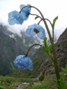 Himalayan India: Valley of Flowers and much more Sept (story Valley Of Flowers, Srinagar, Himalayan, Poppies, India, Blog, Travel, World, Blue Nails