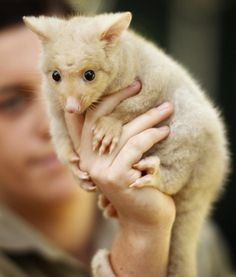 Baby Golden Brushtailed Possum