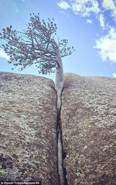 amazing and beautiful natural Trees And Shrubs, Trees To Plant, Weird Trees, Nature Landscape, Lone Tree, Unique Trees, Trees Beautiful, Tree Forest, Tree Leaves