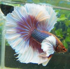 elephant ears and tropicals If they are not properly fed and cared for a betta fish will become ill and quite possibly die from common betta fish diseases. Betta Fish Types, Betta Fish Tank, Beta Fish, Betta Aquarium, Pretty Fish, Beautiful Fish, Colorful Fish, Tropical Fish, Poisson Combatant