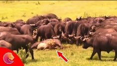 Hundreds of buffalos extricated a baby buffalo from a pride of lions, li...