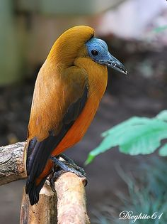 The Capuchinbird or Calfbird (Perissocephalus tricolor) is a species of bird in the Cotingidae family. It is monotypic within the genus Perissocephalus.[2][1] It is found in humid forests (Up to 1400 m. but mostly occurs below 600 m.) in north-eastern South America, almost entirely north of the Amazon River and east of Rio Negro (Colombia, Venezuela, Brazil and The Guianas).
