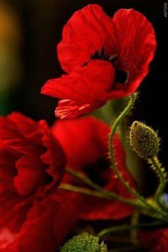 Flowers - Red Poppies - from crescentmoon's garden . Flowers - Red Poppies - from crescentmoon Fleurs Van Gogh, Red Flowers, Beautiful Flowers, Fall Flowers, Red Poppies, Flower Power, Planting Flowers, Scenery, Bloom